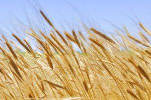 Wheat_opt
